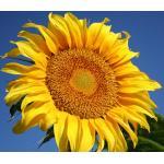ทานตะวันเกรย์สตริป - Grey Strip Sunflower 20 เมล็ด