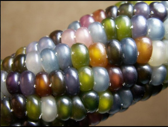 ข้าวโพดอัญมณี - Glass Gem Corn
