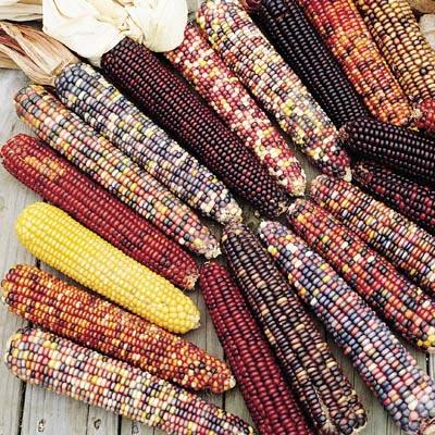 ข้าวโพดสีรุ้ง - Ornamental Indian Corn