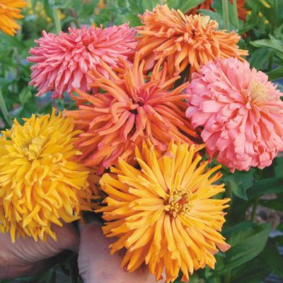 บานชื่นแคคตัสคละสี - Mixed Cactus Zinnia