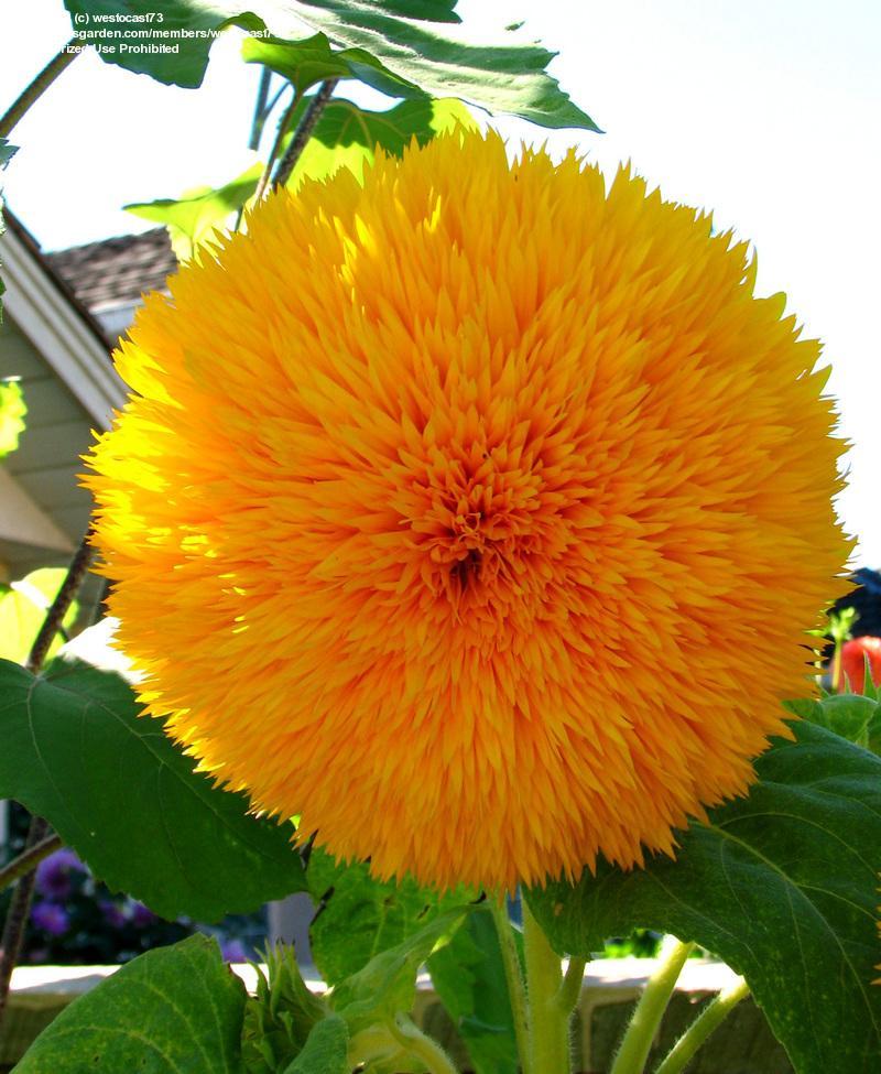 ทานตะวันซันโกลด์ - Sungold Sunflower