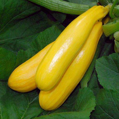 ซูกินี่สีเหลือง - Golden Zucchini