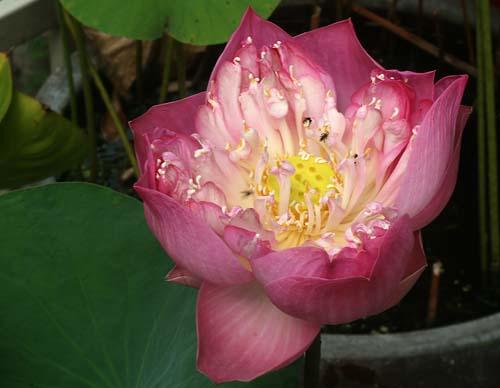 ดอกบัวหลวงสีชมพู - Lotus