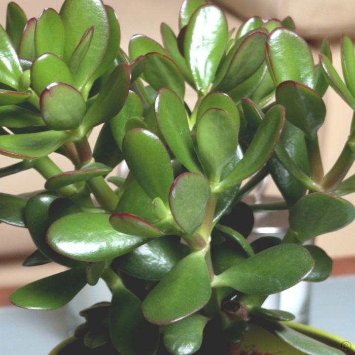 ต้นคลาสซูล่า - Jade Plant (Crassula ovata)