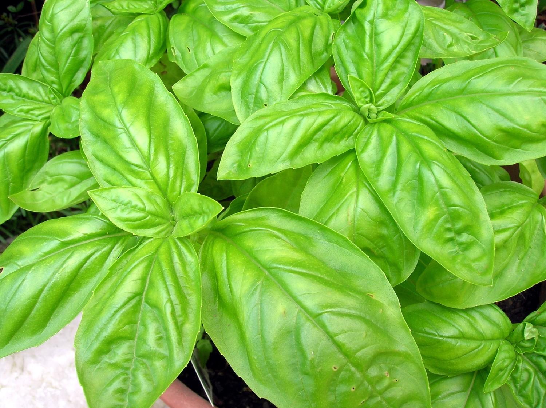 โหระพาอิตาลีใบใหญ่ - Large Leaf Italian Basil