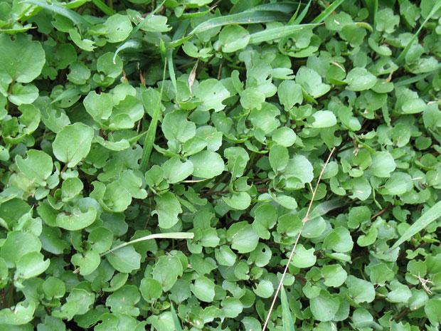 วอเตอร์เครส - Watercress (Nasturtium officinale)