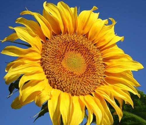 ทานตะวันเกรย์สตริป - Grey Strip Sunflower