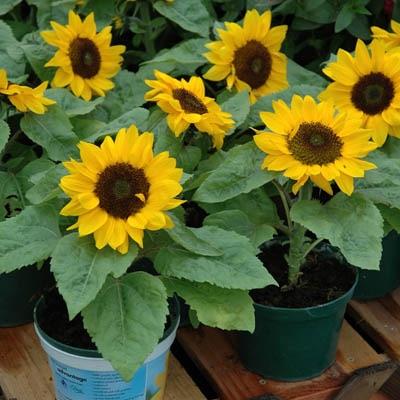 ทานตะวันบิ๊กสมายด์ - Big Smile Sunflower (พันธุ์แคระ)