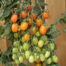 มะเขือเทศแอปริคอตดรีม F1 - Apricot Dream F1 Tomato (หวานมาก 11.5 Brix)
