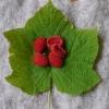 ทิมเบิลเบอรี่ - Thimbleberry