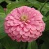 บานชื่นสีชมพูคละชนิด - Luminous Pink Zinnia