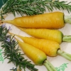 แครอทสีเหลือง - Solar Yellow Carrot