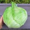 กะหล่ำปลีดัชช์หัวใหญ่ - Late Flat Dutch Cabbage