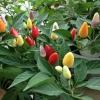 พริกประดับจีน 5 สี - Chinese Ornamental 5 Color Pepper