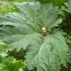 ผักกาดไดโนเสาร์ - Giant Rhubarb