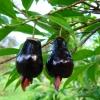 ต้นเชอร์รี่ริโอแกรนด์ - Cherry of Rio Grande (Eugenia involucrata)