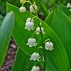 ลิลลี่หุบเขาสีขาว - White Lily of the Valley 2 ราก