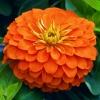 บานชื่นสีส้มคละชนิด - Orange King Zinnia