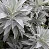 เสจขาว - White Sage