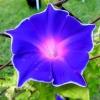 มอร์นิ่งกลอรี่บลูพิโคที - Blue Picotee Morning Glory