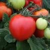 มะเขือเทศเมกะไบต์ F1 - Megabyte F1 Tomato