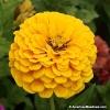 บานชื่นสีเหลืองคละชนิด - Yellow Canary bird Zinnia