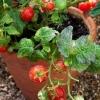 มะเขือเทศมินิเบล - Minibel Tomato