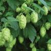 ฮอป (ใช้ทำเบียร์) - Hop (Humulus lupulus)