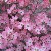 ด๊อกวู๊ดสีชมพู - Pink Dogwood Tree