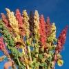 ควินัวคละสี - Mixed Quinoa