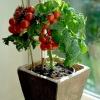 มะเขือเทศไทนี่ทิม - Tiny Tim Tomato