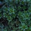 ไทม์ใบใหญ่ - Large Leaf Thyme