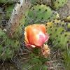 พริคลี่แพร์ทะเลทราย - Opuntia Phaeacantha