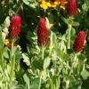 โคลเวอร์คริมสัน - Crimson Clover