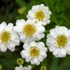 เก๊กฮวยขาว - Chrysanthemum morifolium