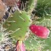 พริคลี่แพร์โคสทอล - Opuntia Littoralis