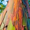 ยูคาลิปตัสสีรุ้ง - Rainbow Eucalyptus (Eucalyptus deglupta)