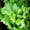 ผักสลัดซิมสัน - Black Seeded Simpson Lettuce