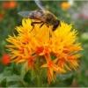 ดอกคำฝอย (พันธุ์มีหนาม) - Safflower (Carthamus tinctorius)
