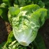 ผักสลัดลิตเติ้ลเจ็ม - Little Gem Lettuce