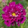 ดาวกระจายดอกซ้อนสีบานเย็น - Double Click Cranberries Cosmos