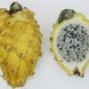 กิ่งแก้วมังกรเวียดนามสีเหลือง - Hylocereus megalanthus