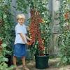 มะเขือเทศซูปเปอร์สวีท 100 - Super sweet 100 Tomato