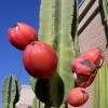 แอปเปิลเปรูเวียนสีแดง - Red Peruvian Apple