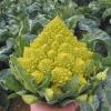 กะหล่ำดอกเจดีย์ - Romanesco Broccoli