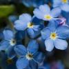 ฟอร์เก็ตมีนอตสีฟ้า - Blue Forget me not