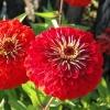 บานชื่นสีแดงคละชนิด - Red Cherry Queen Zinnia