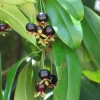เชอร์รี่บราซิล - Eugenia brasiliensis