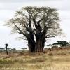 เบาบับ - Baobab (Adansonia)