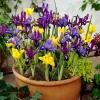 ไอริสดัชช์ - Iris hollandica